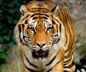 animals, tiger, and animais  image