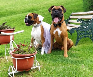 boxer, dog, and love image
