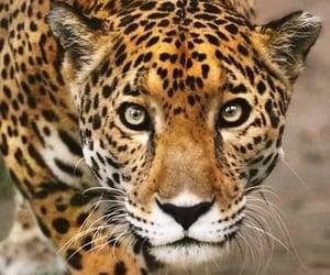 Animales, leopardo, and mirada image