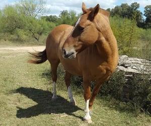 caballo and animal image