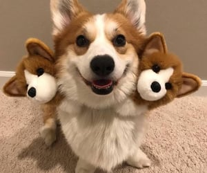 animals, corgi, and dog image