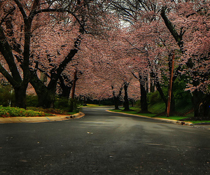blossoms, pink, and tree image