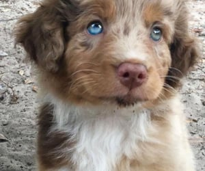 animals, baby, and blue eyes image