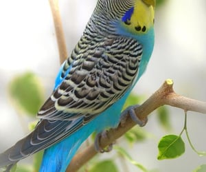 animal, beautiful, and budgie image