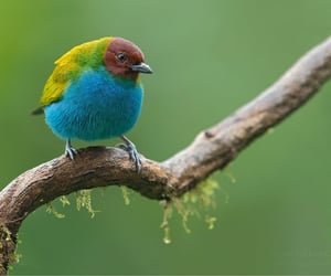 Bay-headed tanager, Costa Rica with Tropical Photo
