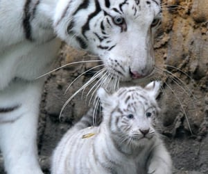 animal, tiger, and tigre image