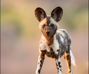 africa, dog, and savannah image