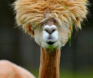 animal, alpaca, and funny image