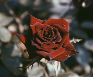 rose photography image
