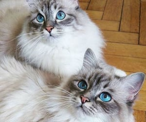 animals, blue eyes, and cats image