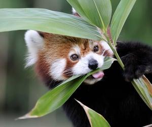 animal, Red panda, and cute image