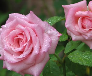 dew drops, flowers, and rose image
