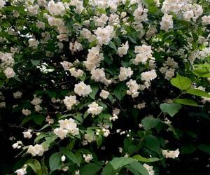 flowers, jasmine, and seringa image