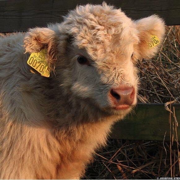 cow and animal image