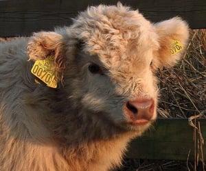 animal and cow image