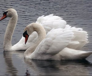 Swan and white image