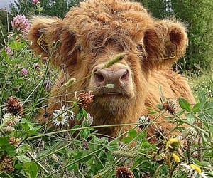 animal, cow, and aesthetic image