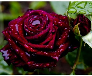 rain, red, and rose image
