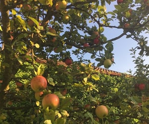 apple tree, apples, and fruit image