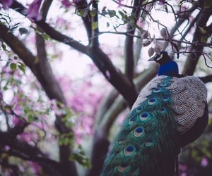peacock, bird, and blue image