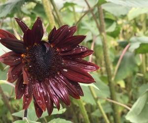 autumn, sunflower, and farmcore image