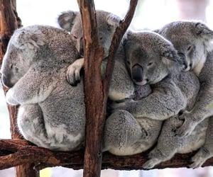 animal, Koala, and wood image