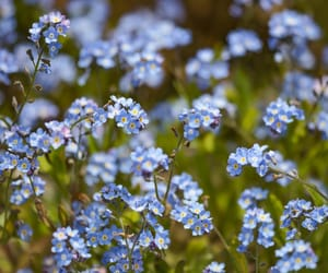 blue, flowers, and forget-me-not image
