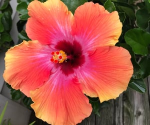 flower, hawaii, and hibiscus image