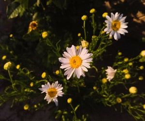 beginner, daisy, and flowers image