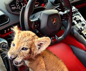 car, animal, and Lamborghini image