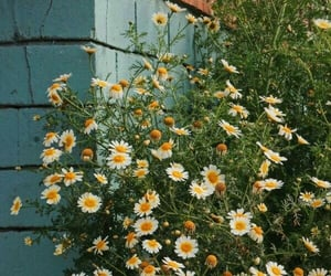 beautiful, daisy, and flower image