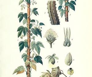 botany, humulus lupulus, and bhl:page=22537789 image