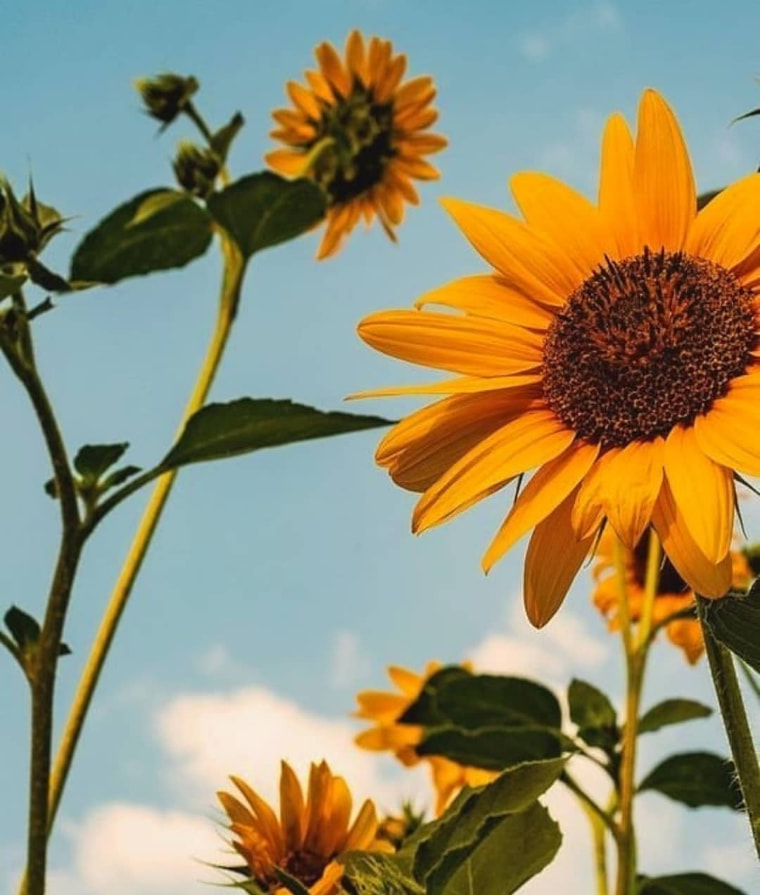 wallpaper and sunflower image