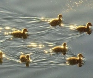 aesthetic, ducklings, and cute animals image