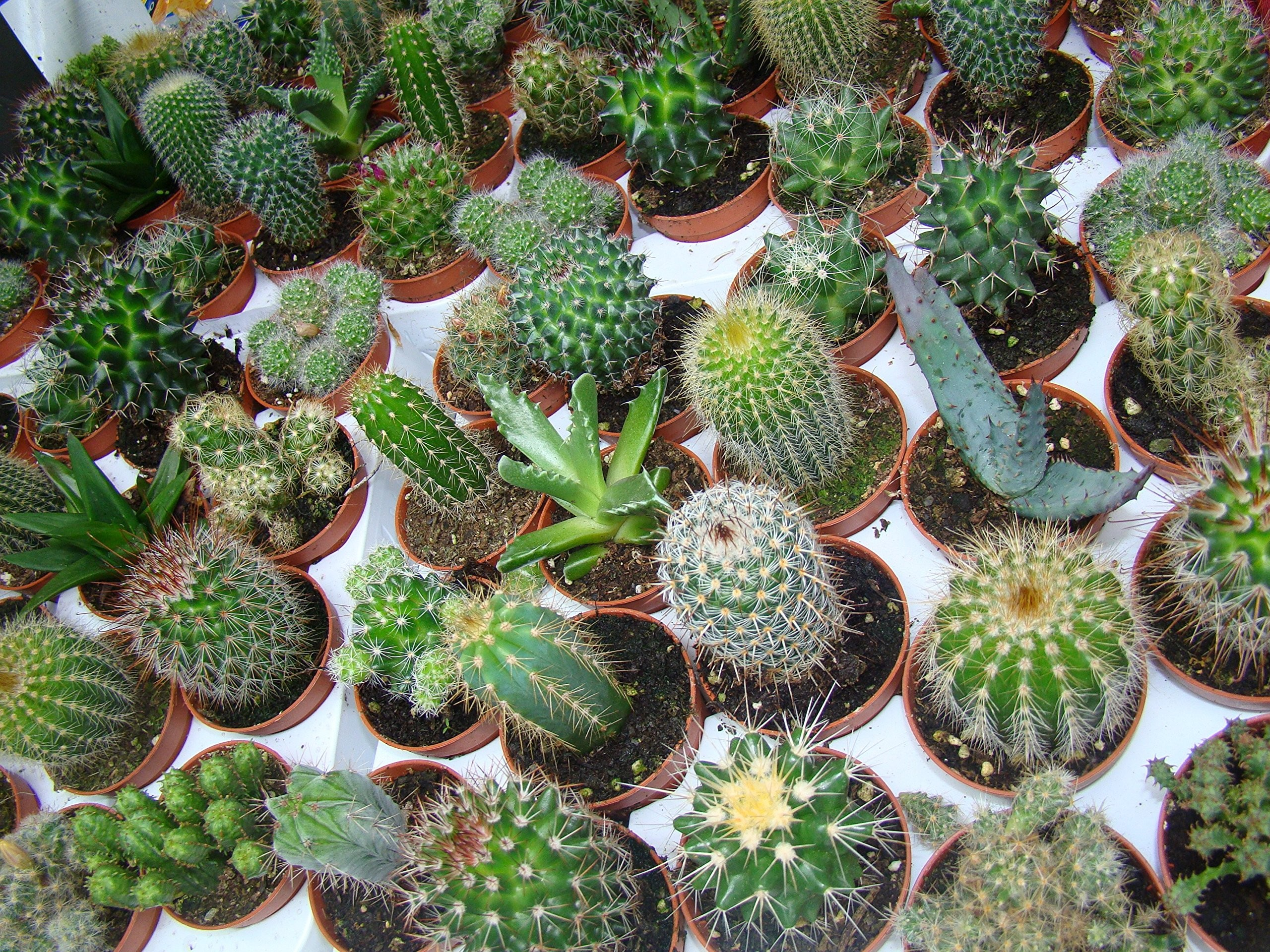 cactus, dishes, and plant image