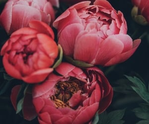 flowers, beauty, and peonies image