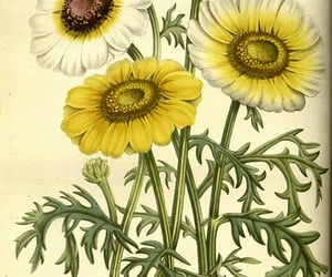 bhl:page=27759118 and chrysanthemum carinatum image