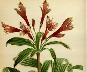 alstroemeria peruviana and bhl:page=27908465 image