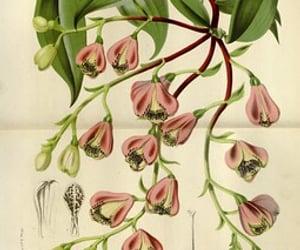 alstroemeria peruviana and bhl:page=27908468 image