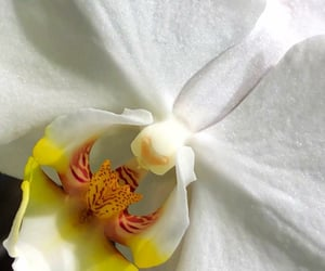 closeup, flores, and orchid image