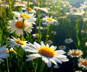 daisies, flower, and nature image