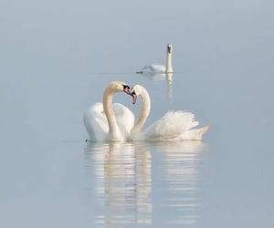 Swan, blue, and lake image