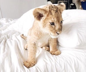 lion, animal, and cute image
