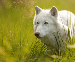 photography and wolf image