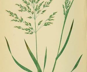 Great Britain, gramineae, and poa trivialis image