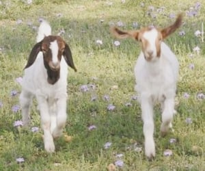 animal, aesthetic, and goat image