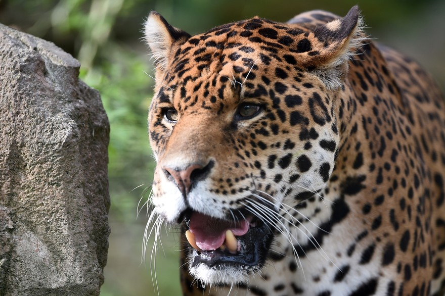 big cats, cats, and wild image