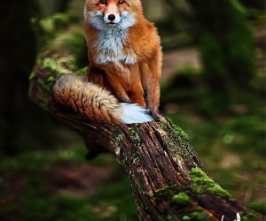 Red fox by John Howard