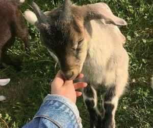 animal, goat, and cottagecore image