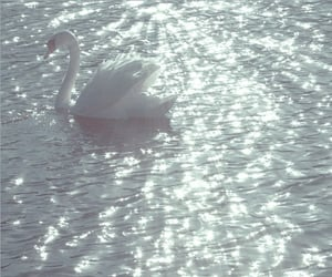 Swan, theme, and water image